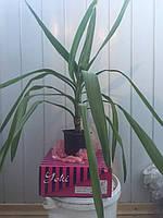 Юкка комнатная растение более 50см