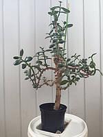 Бонсай крассула (денежное дерево) растение