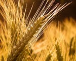 Семена озимого ячменя Достойный (Элита) - ООО «ЮВЕНТА АГРОХИМ» в Днепропетровске