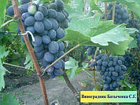 Саженцы винограда в ассортименте