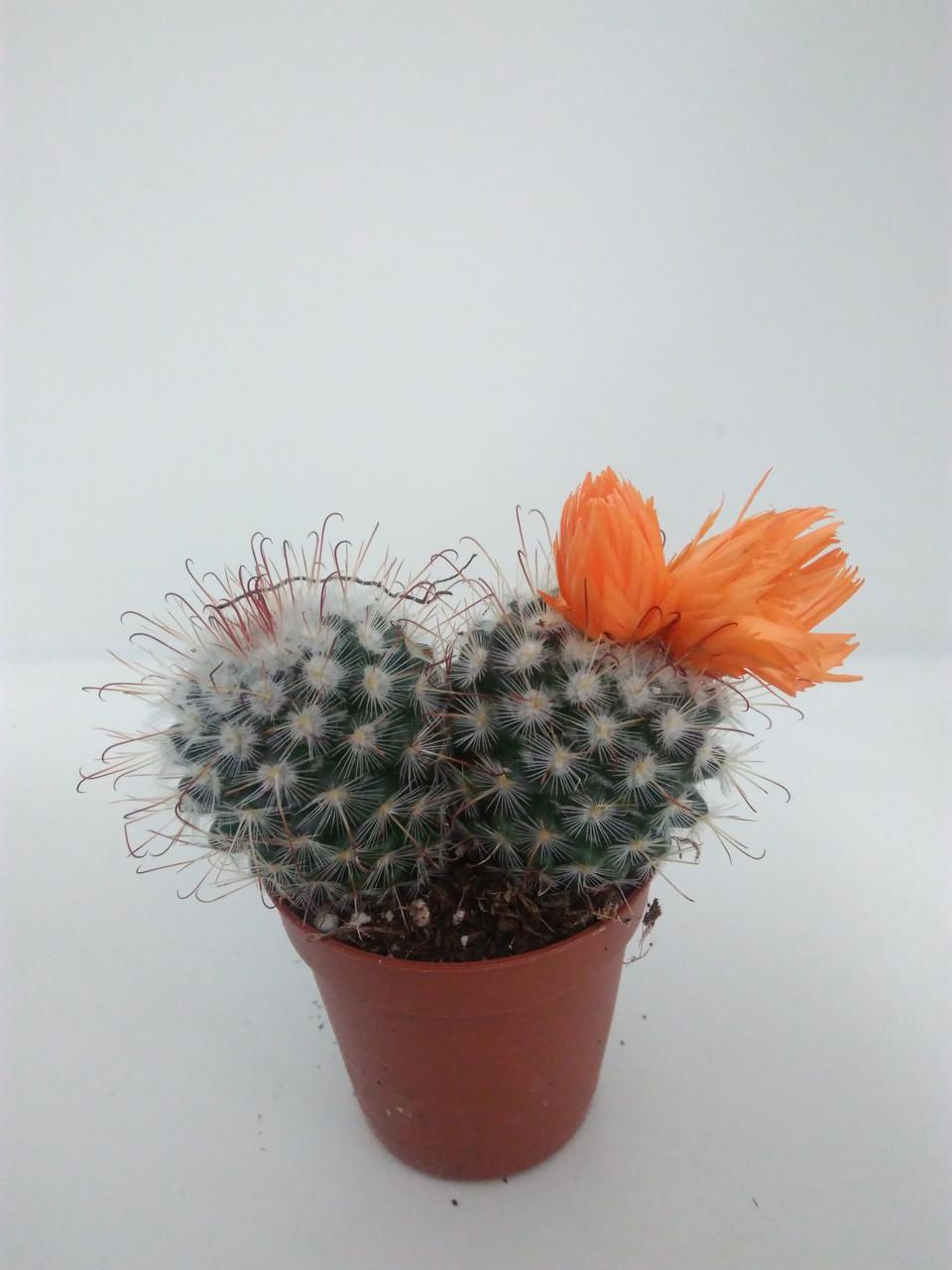 Домашние цветы фото и название кактусов