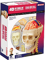 Объемная анатомическая модель 4D Master Черепно-мозговая коробка человека (26053)