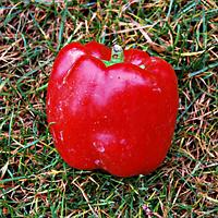 Семена перца сладкого Квадрато Асти Красный 10 гр. Коуел