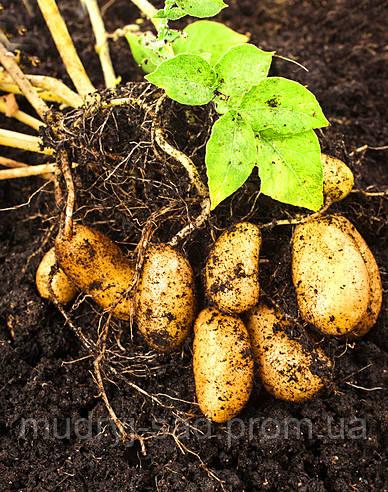 Как выращивать картофель, какие условия необходимы для развития этой культуры.