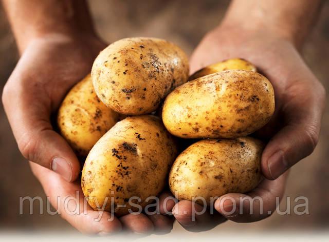 Как правильно садить картофель и как с пользой для культуры использовать удобрения