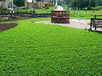Клевер белый - газон для ленивых