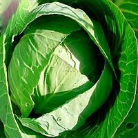Статус F1 семена капусты б/к среднепоздней 100-105 дней Moravoseed 2 500 сем