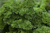 Изумруд семена петрушки кучерявой Agri Saaten 100 г