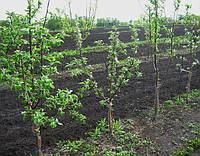 Саженцы яблони на карликовом подвое (М.9) и (Б7-35) - каталог сортов, Осень 2016.