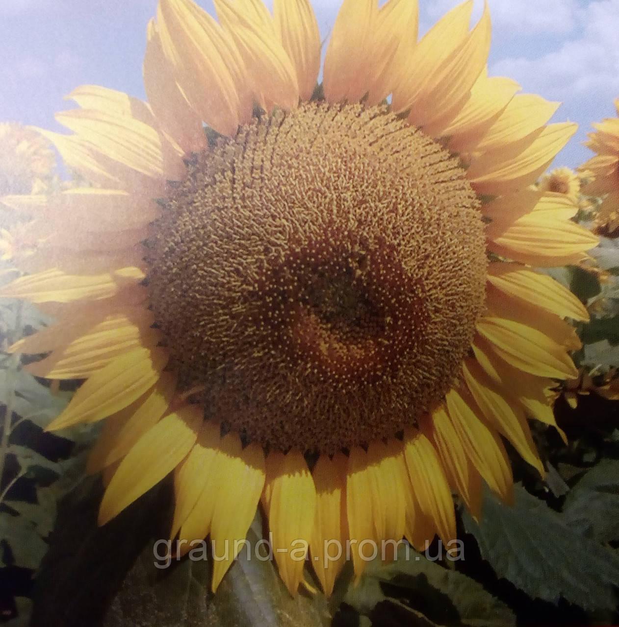Подсолнух : когда и как собирать семена подсолнечника 98