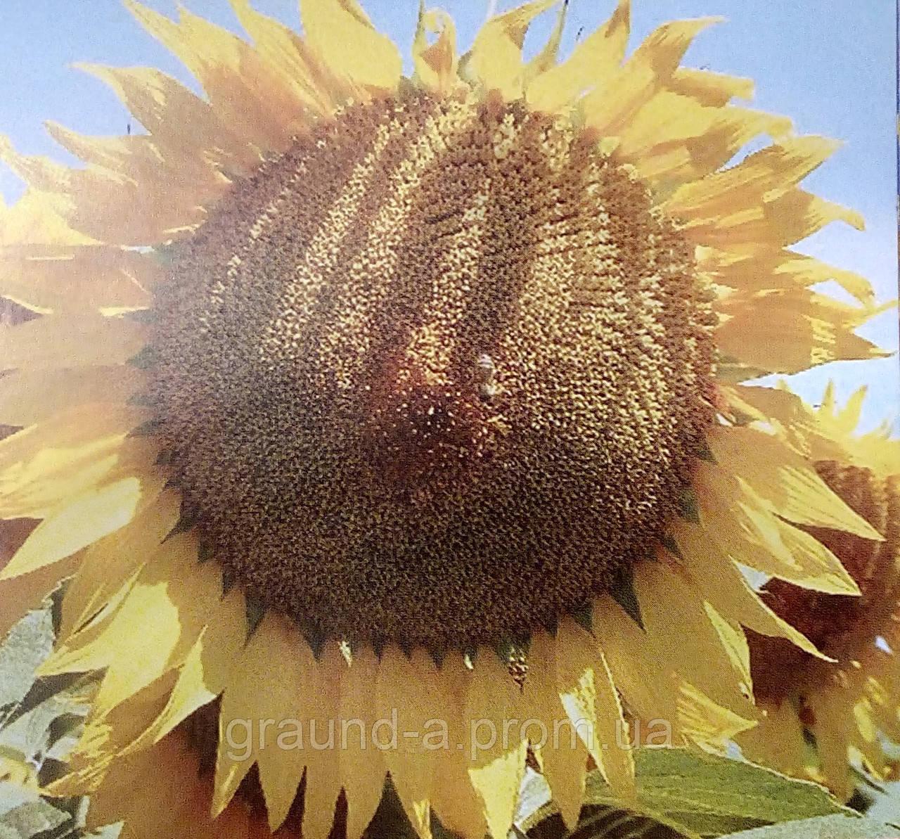 Подсолнух : когда и как собирать семена подсолнечника 65