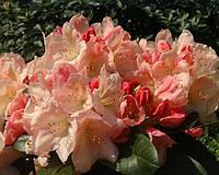 Рододендрон Lachsgold (саженцы)