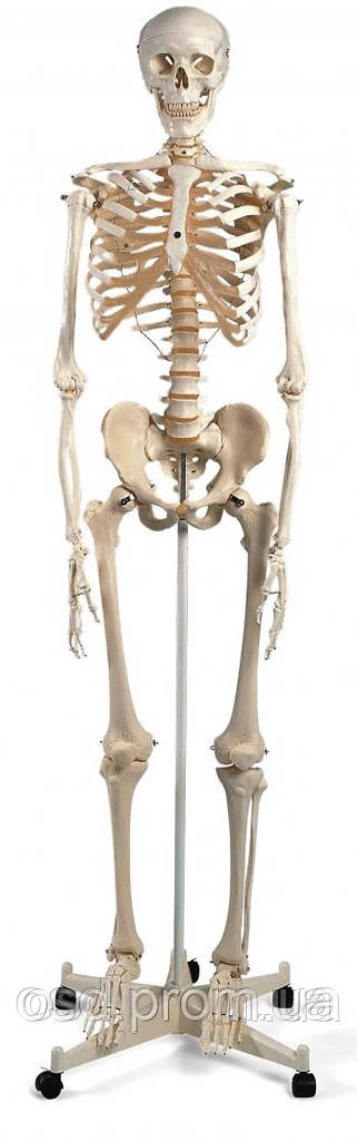Стандартная модель скелета человека 'Стэн'