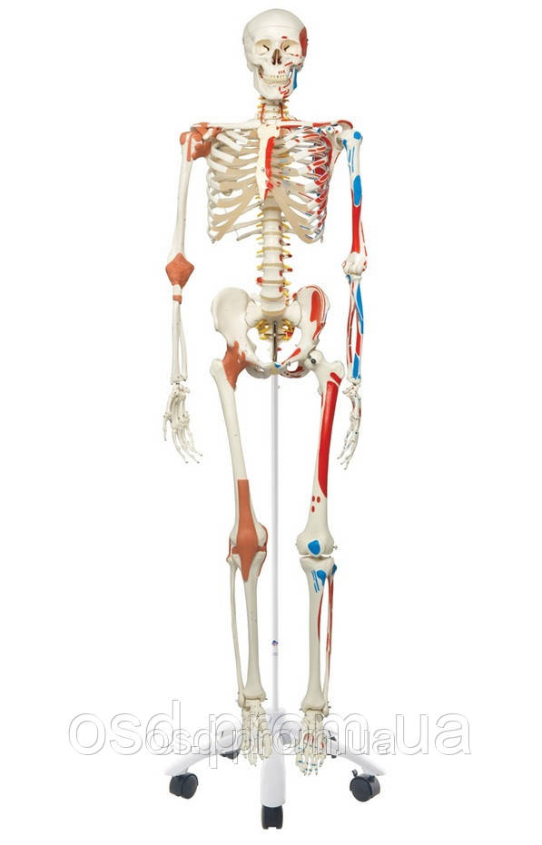 Специальная модель скелета человека 'Сэм'