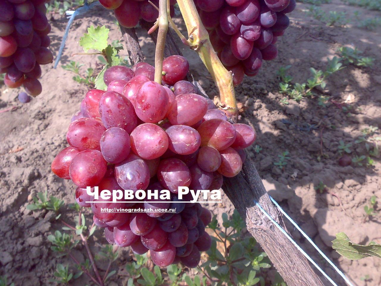 Виноград маникюр фингер цена саженца