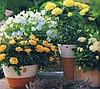 В данной статье предлагаем вам необходимый минимум знаний, который поможет правильно ухаживать за домашними розами. .