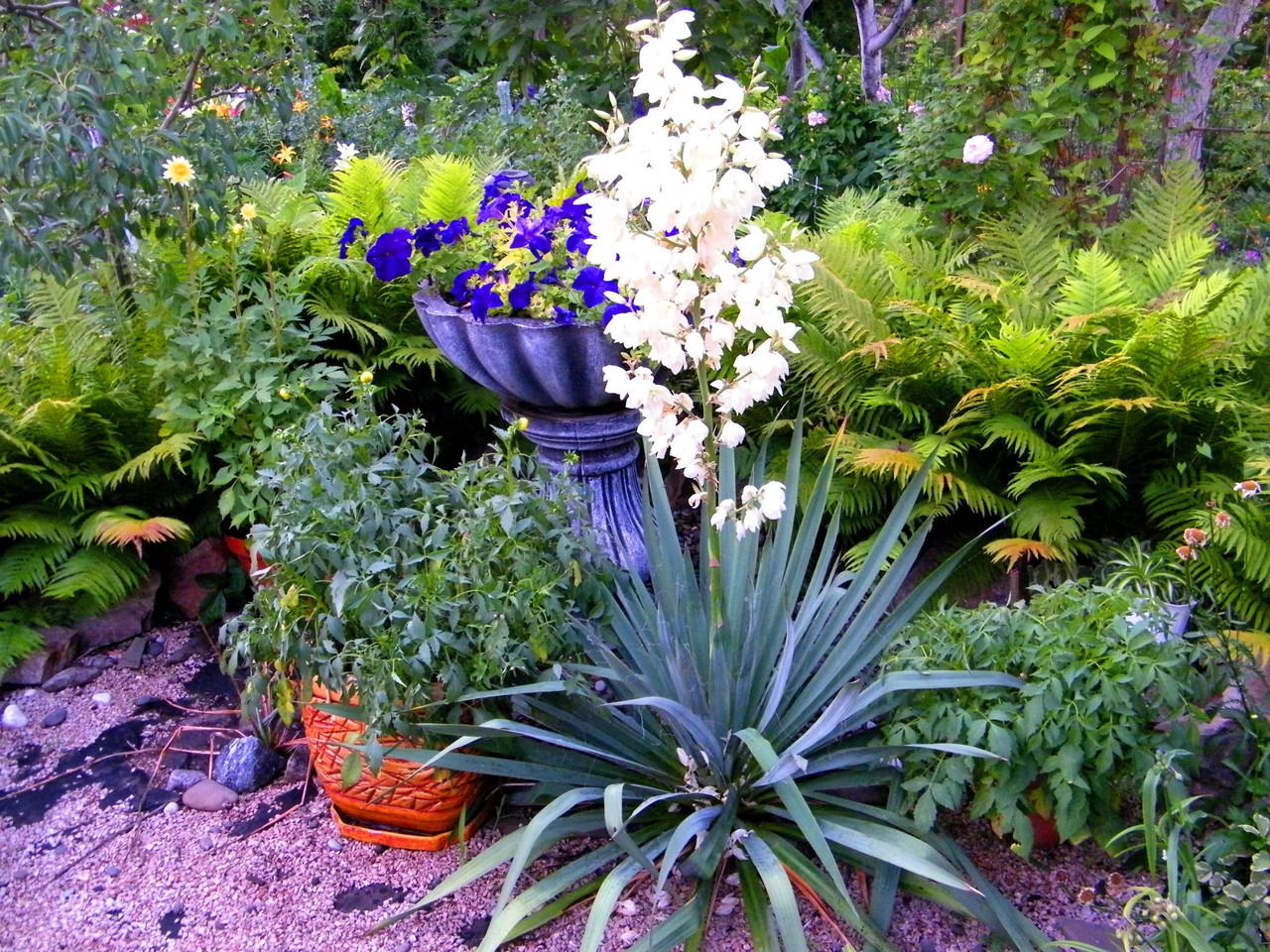 Садовые цветы юкка