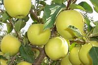 Яблоко Голден 2 сорт
