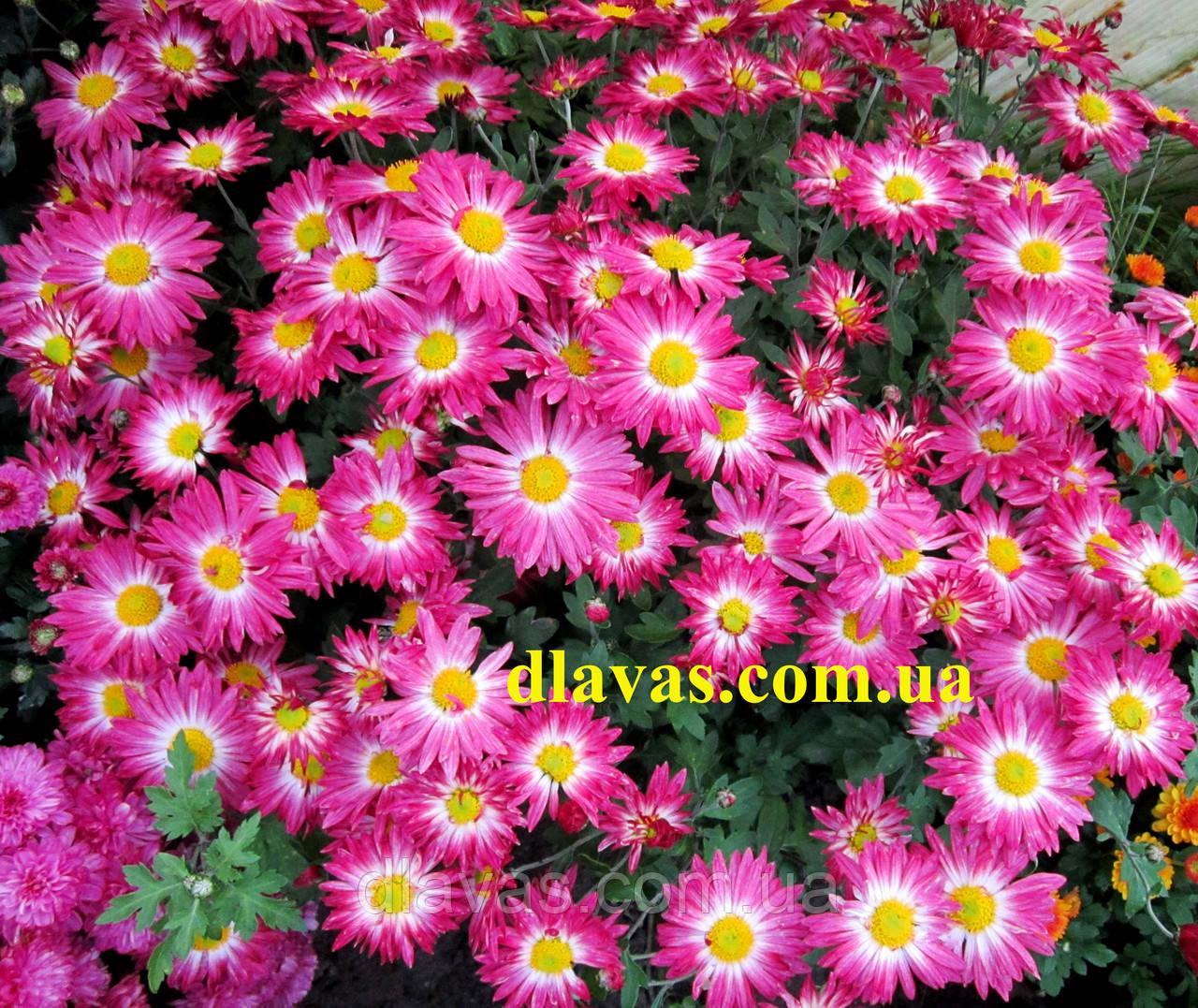 Хризантема мультифлора фото цветов
