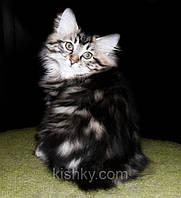 Купите котенка редкой породы! Курильский бобтейл.