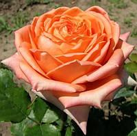 Роза садовая «Эльдорадо»