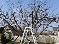 Правильная обрезка плодовых деревьев. Обрезка садовых деревьев в Киеве.