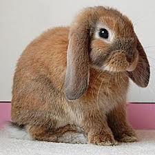 Что нужно знать перед покупкой декоративного кролика.