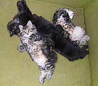 Котята породы курильский бобтейл 2 месяца.