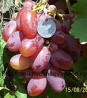 Саженцы винограда привитые, сорт винограда Преображение