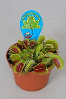 Экзотическое растение хищник Венерина мухоловка мухоед dionea muscipula (размер XL) + Подарок!!!