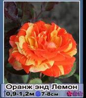 Роза флорибунда Оранж энд Леман.