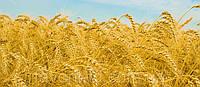 Семена озимой пшеницы и ячменя
