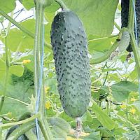 Семена огурца корнишон Кибрия F1 250 семян Rijk Zwaan