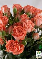 """Роза мелкоцветковая (спрей) """"Barbados"""" (саженец класса АА+) высший сорт"""