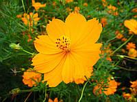 Космея Оранжевый венец 0,5г