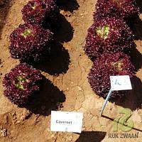Семена салата Кавернет \ Cavernet RZ 1000 семян Rijk Zwaan