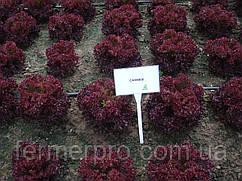 Семена салата Кармеси \ Carmesi тип Лолла Росса 5000 семян Rijk Zwaan