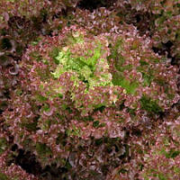 Семена салата Сатин \ Satine 1000 семян Rijk Zwaan