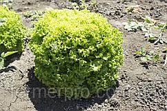 Семена салата Локарно \ Lokarno RZ 1000 семян тип Лолла Бионда Rijk Zwaan