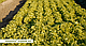 Семена салата Эксплор \  Explore RZ 1000 семян Rijk Zwaan, фото 2