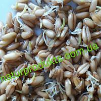 Зерно для проращивания ОРГАНИКА, 1 кг (сорт Третикале)