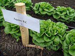 Семена салата Аквино \ Aquino RZ 5000 семян Rijk Zwaan