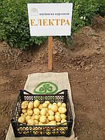 Картофель семенной Электра, среднеранний 1 репродукция