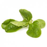 Семена салата тип корн Сирила \ Cirilla RZ 100.000 семян Rijk Zwaan