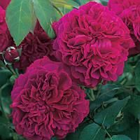Троянда Уільям Шекспір 2000 William Shakespeare 2000. 2-річний саджанець
