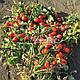 Семена томата Дино F1 \ Dino F1 1000 семян Clause, фото 4