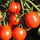 Семена Томата Форсаж F1 \ Forsage F1 1000 семян Clause , фото 4