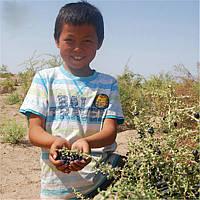 Черный Годжи (семена ), фото 1