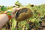 Высокоурожайный гибрид ЛГ 5580: характеристики.