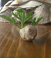 Жива рослина у ракушці - вазон